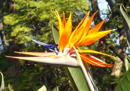 Stelitzia: Bird of Paradise Flower